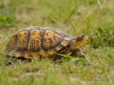 terrapene carolina - eastern box turtle
