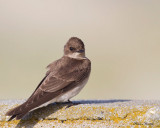 hirondelle de rivage - bank swallow