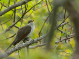 coulicou a bec jaune - yellow billed cuckoo