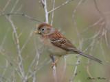 bruant des champs - field sparrow