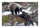 Mother Bear - 4621