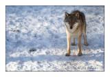 Wolf - Regard du Loup - 4360