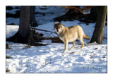 Wolf - Regard du Loup - 4371
