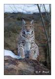 Lynx - 5309