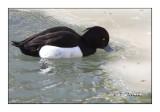 Duck - Canard - 5211