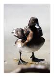 Duck - Canard - 5224