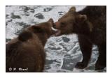 Bears bitting mouths - 5232