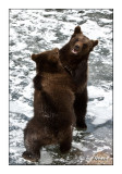 Bears on the pond - 5238