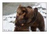 Bears' wresting games - 5254