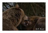 Bears' kisses - 5281