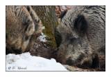 Boar's family - 5327