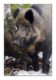 Wild Boar - 5767