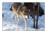 Wolf - 4426-2