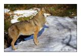 Wolf - 5508