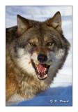 La mâchoire du loup - 5535