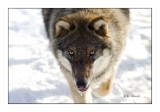 Wolf portrait - 4436