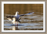 Mouette rieuse - 4715