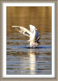 Mouette rieuse - 4716