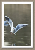Mouette rieuse - 4892