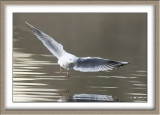 Mouette rieuse - 4893