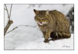 Wildcat's attitude - 7112