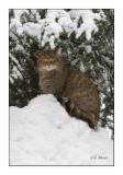 The Wildcat under the snowed pine tree- 0744