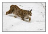 Majestuous Lynx - 5589