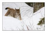 Lynx - 5579
