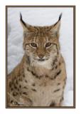 Portrait de Lynx - 5557