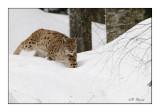 Hunting attitude - Lynx - 5633