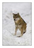 Loup - 5683