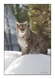 Lynx - 0824