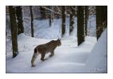 Lynx en hivers - 0871