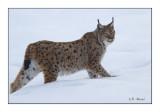 Mister Lynx - 6145