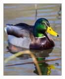 Colvert Duck - 7718