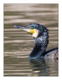 Portrait de cormoran - 7868