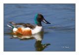 Un canard sur le plan d'eau - 7975
