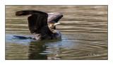 Attitude du cormoran - 8110
