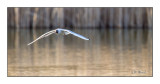 Seagull on the glide slope - 8396