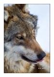 wolf - 7060