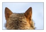 wolf's ears - 7036