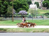 Lots of dog walkers in Buenos Aires