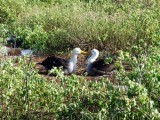 The mating ritual of the Waved Albatross