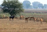 A Herd of Nilgai  (largest of the Asian Antelope family)
