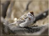 American Tree Sparrow3.jpg