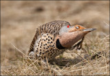 Northern Flicker Yellow shafted female.jpg