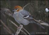 Pine Grosbeak Male.jpg