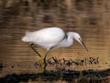 Snowy Egret 3.jpg