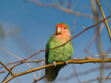 Lovebird 01.jpg