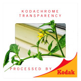 A 2011 Digital Shot  Of A Tomato Vine- In A 1960 Kodak Slide